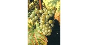 Vins Chili